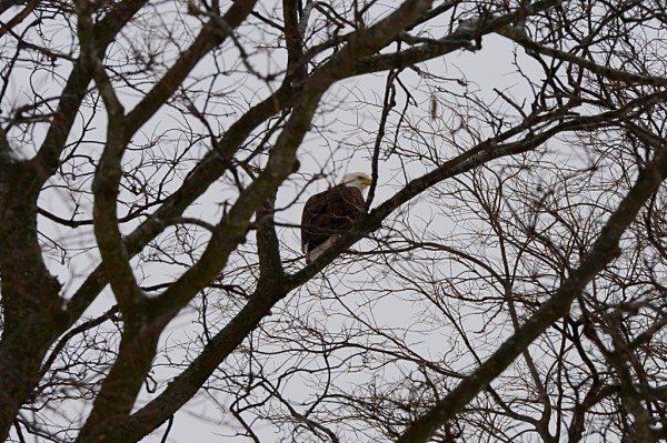 Bald Eagle now a local resident
